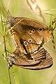 Aphantopus.hyperantus4.-.lindsey.jpg