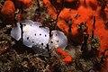 Aphelodoris sp3 feb06.jpg