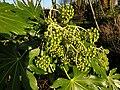 Apiales - Fatsia japonica - 6.jpg