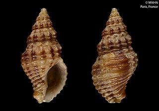 <i>Aplus scaber</i> Species of gastropod