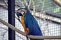 Ara bleu (Zoo Amiens).JPG