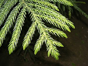 Pinophyta - Araucariaceae: Awl-like leaves of Cook Pine (Araucaria columnaris)