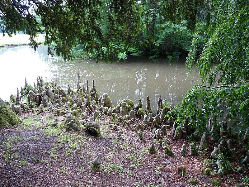 cyprès chauve à l'arboretum de balaine dans l'Allier