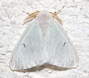 Schwarzes L (Arctornis l-nigrum), ♂