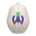 Areas of Lateral ventricle - 05.png