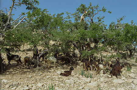Arganiatrees and goats(js)3.jpg