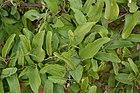 Aristolochia indica - leaves.JPG