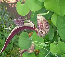 Aristolochia sp.jpg