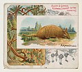 Armadillo, from Quadrupeds series (N41) for Allen & Ginter Cigarettes MET DP839192.jpg