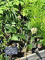 Arnoglossum plantagineum (14395595294).jpg