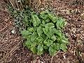 Arum maculatum 117620345.jpg