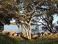 Arvores a Beira do Lago Guaíba na Ilha dos Jangadeiros, Porto Alegre, em maio 2016.jpg