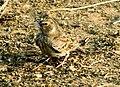 Ashy-crowned Sparrow-lark, Koraput, Odisha.jpg