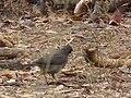 Ashy starling Lamprotornis unicolor in Tanzania 0322 cropped Nevit.jpg