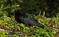 Asian Koel Eudynamys scolopaceus male by Dr. Raju Kasambe DSCN0766 (6).jpg