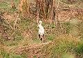Asian openbill at Chitwan National Park.jpg