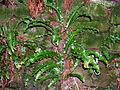 Asplenium scolopendrium.jpg