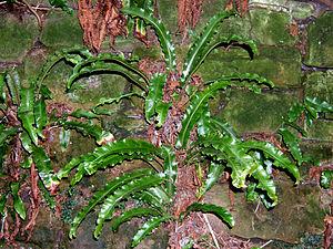 Image of Asplenium scolopendrium: http://dbpedia.org/resource/Asplenium_scolopendrium