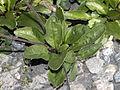 Asteraceae - Aster bellidiastrum-001.jpg