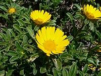 Asteriscus maritimus flowers.jpg