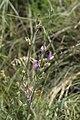 Astragalus pallescens 43516050.jpg