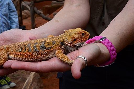 Lizard at Wild Life Sydney