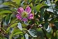 Atlas roslin pl Róża czerwonawa 5235 7785.jpg