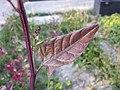 Atriplex hortensis sl4.jpg