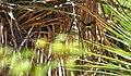 Audubons Oriole BIBE.jpg