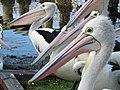 Australian Pelican - Flickr - GregTheBusker.jpg