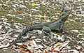 Australian Water Dragon edited.jpg