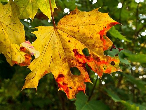 Autumn maple leaf in Tuntorp.jpg