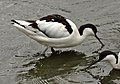 Avocet at Living Coasts.jpg