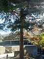 B41 Pinus nigra (Austrian Pine) Distance.jpg