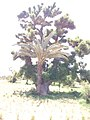 BAOBAB tree with DATE PALM tree sharing the same root. in Gezawa village Kano state (9).jpg