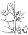 BB-0195 Potamogeton obtusifolius.png
