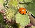 BUG, SEVEN-SPOTTED LADY (Coccinella septempunctata) (9-18-11) patagonia lake, scc, az -01 (6160932988).jpg