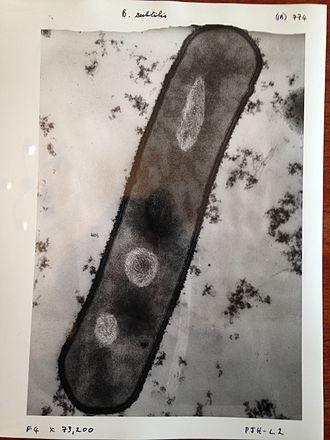 Electron microscope - Image of Bacillus subtilis taken with a 1960s electron microscope