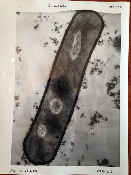 Image of Bacillus subtilis taken with a 1960s electron microscope Bacillus subtilis image.jpg