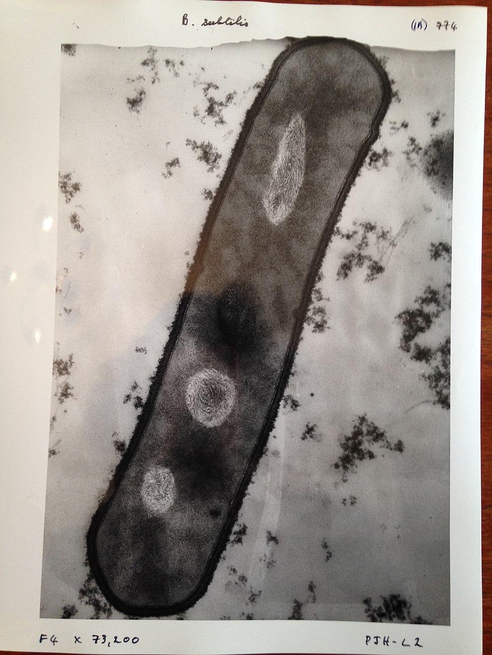 Bacillus subtilis image