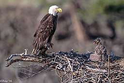 "Back to the Six Mile Lake eagles (Haliaeetus leucocephalus).""feed me mom"". (19159890706)"