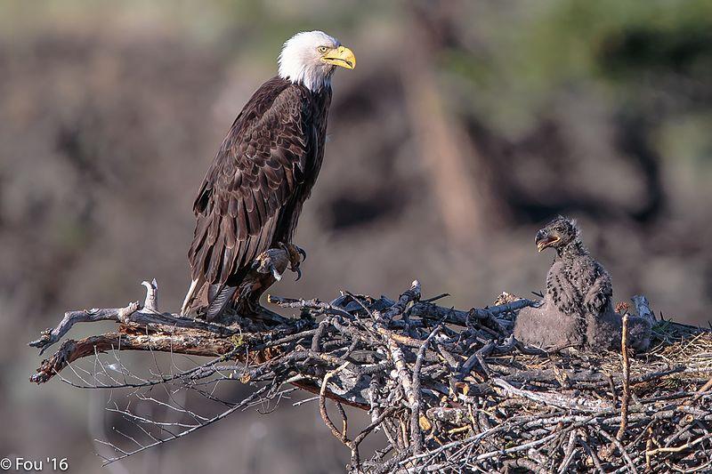 Back to the Six Mile Lake eagles (Haliaeetus leucocephalus).%22feed me mom%22. (19159890706).jpg