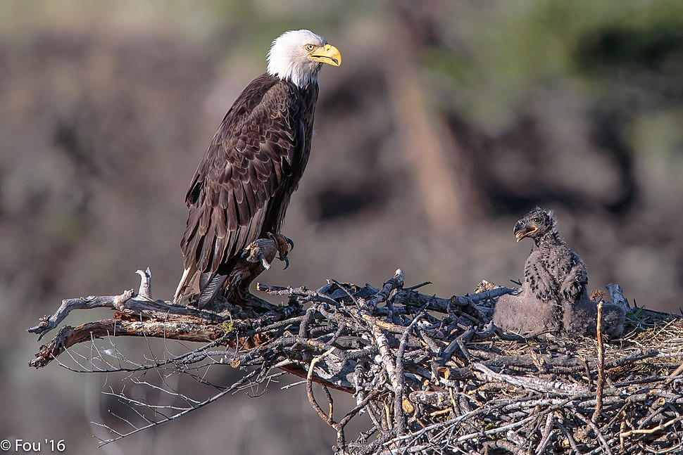 Back to the Six Mile Lake eagles (Haliaeetus leucocephalus).%22feed me mom%22. (19159890706)