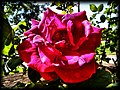 Backyard Rose - Flickr - pinemikey.jpg
