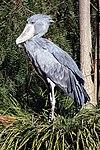 Balaeniceps rex -San Diego Zoo-8