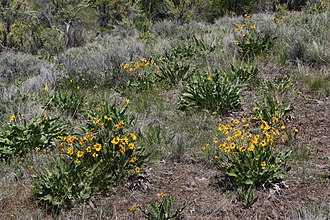 Wenas Wildlife Area - Balsamorhiza sagittata is a common native wildflower in Wenas Wildlife Area