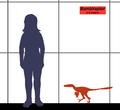 Bambiraptor SIZE.png