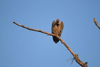 Bandhavgarh Vulture.jpg