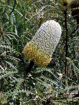 Banksia in Mt Claremont.jpg