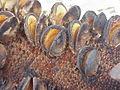 Banksia serrata2.jpg